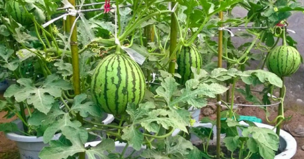 How to grow water melon in a pot